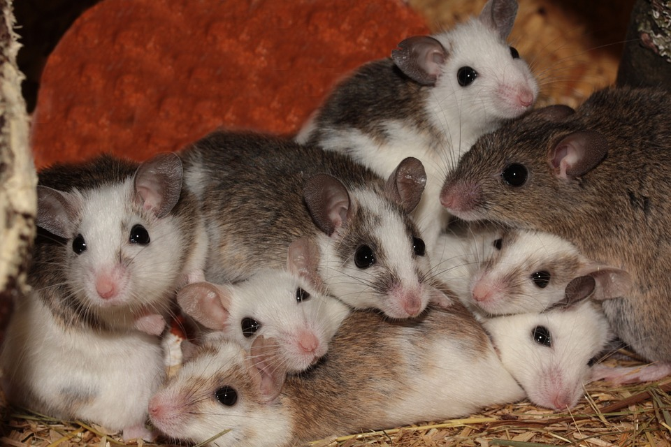 Photo of a litter of mice