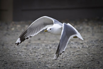 Close up photo of a seagull
