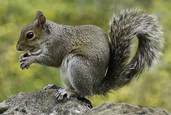 photo of a grey squirrel