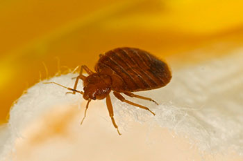 Close up photo of a bed bug