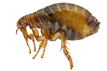 Close up photo of a flea