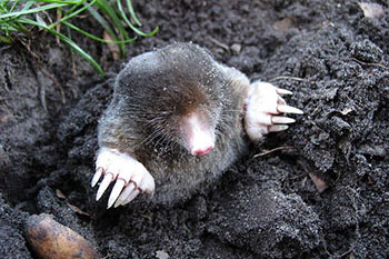 Photo of a mole emerging from the ground